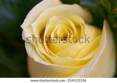 Fresh yellow rose beginning to bloom close-up - stock photo