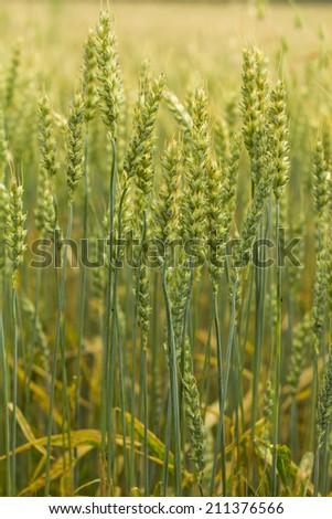 fresh young wheat field - stock photo