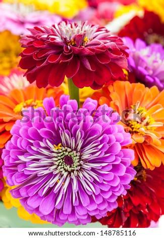 Fresh zinnia summer bouquet. - stock photo