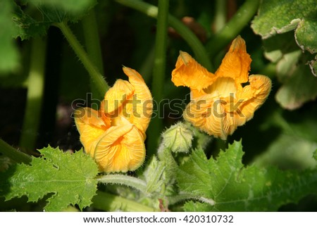 Fresh zucchini flowers on the plant in the garden. - stock photo