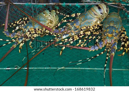 Freshly caught common lobsters in a red fish box. - stock photo