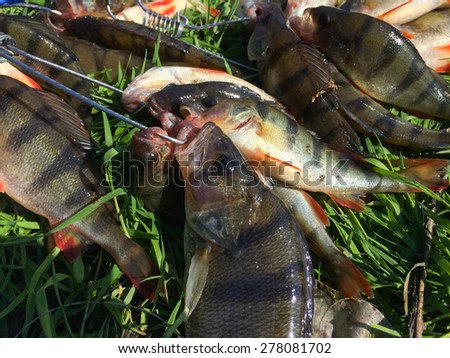 Freshly caught perch. Catch fisherman. Fisherman caught a bunch of perch. Immerse yourself in the grass. - stock photo