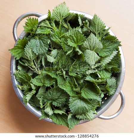 Freshly cut stinging nettles in colander ready for cooking. - stock photo