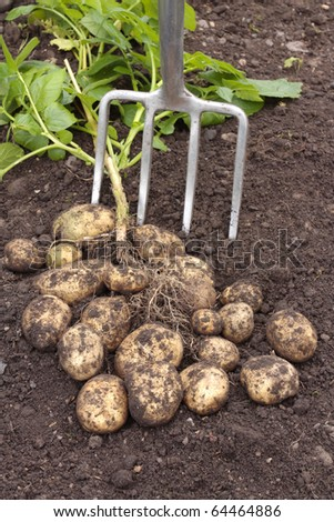 Freshly dug out potatoes with rake
