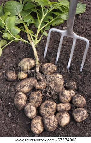 Freshly dug potatoes crop - stock photo