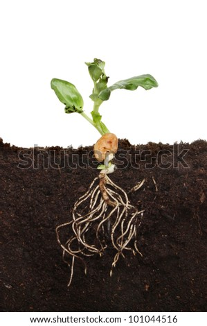 Freshly germinated broad bean seedling in soil showing root structure and new leaves - stock photo
