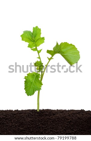 Freshly growing mustard - stock photo