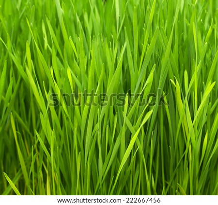 Freshly grown organic Wheatgrass ready to juice - stock photo