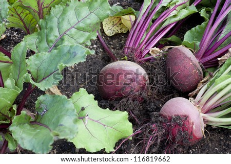 Freshly harvested beetroot - stock photo