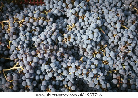 freshly harvested black grape