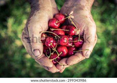 Freshly harvested cherry in hands - stock photo