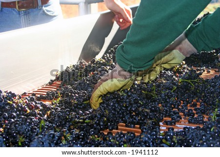 Freshly harvested grapes being sorted on their way to be crushed - stock photo