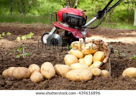 Freshly harvested potatoes on the field - stock photo