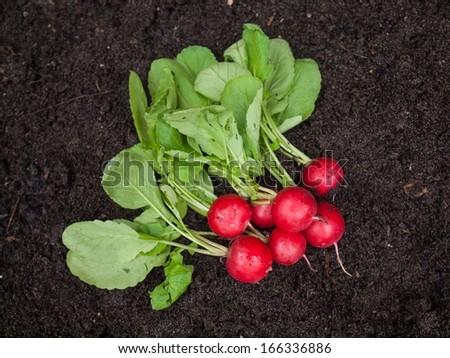 Freshly harvested radish on rich dark garden soil background - stock photo