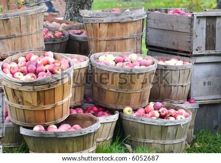 Freshly picked apples in bushels and crates, still sitting in the orchard - stock photo
