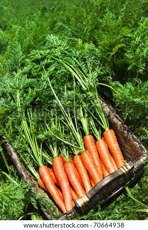 Freshly picked carrots in a basket in a carrot field on a farm - stock photo
