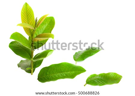 Freshly picked green Guava (Psidium Guajava) leaves isolated on white.