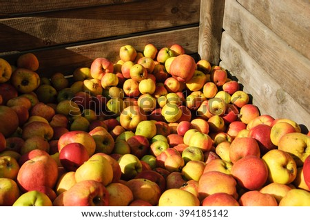 Freshly picked organic apples in wooden container. - stock photo
