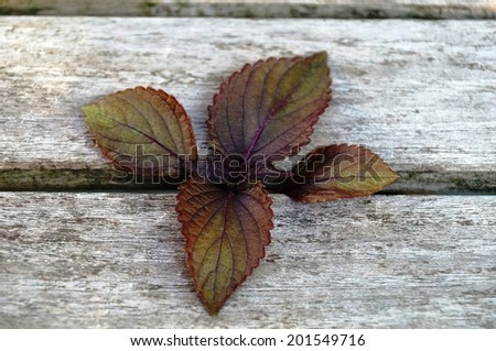 Freshly picked purple shiso perilla leaves  - stock photo
