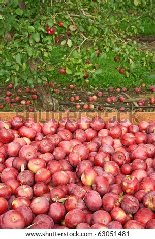 Freshly picked red apples in a wooden box, with apple tree in the background.