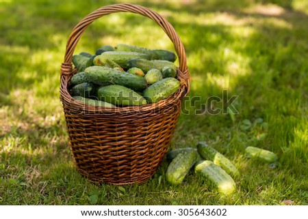 freshly picked ripe green cucumbers in a basket - stock photo