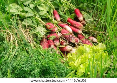 Freshly picked vegetables. The harvest in the grass. Radishes, lettuce, dill in the garden. Natural unwashed vegetables. Ingredients for a spring salad. - stock photo