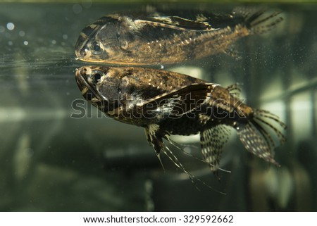 View alsatian dog stock photo 566626804 shutterstock for Butterfly fish freshwater