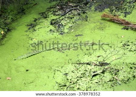 Freshwater crocodile (Crocodylus johnsoni) in a algae covered pond in a park in Port Douglas, Australia - stock photo