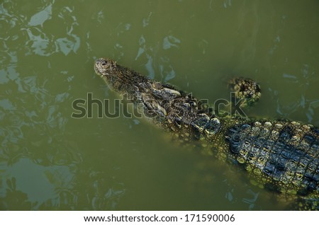 freshwater crocodiles at the zoo in thailand - stock photo