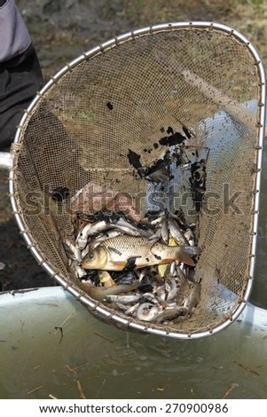freshwater fish caught in the net - stock photo