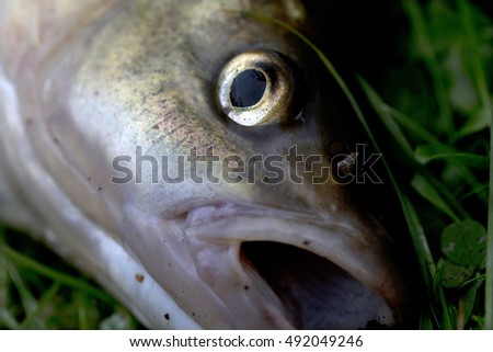 Freshwater Fish Chub, in Detail