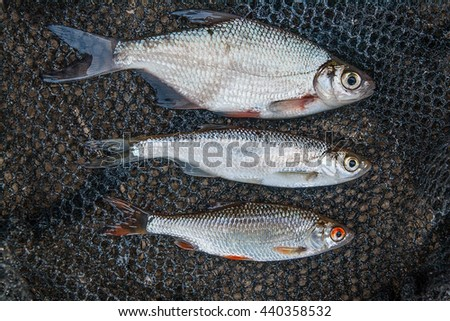 Freshwater fish just taken from the water. Bleak fish, roach and bream fish on fishing net.  - stock photo