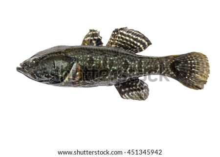 Freshwater predatory fish rotan, isolated Perccottus glenii, Amur Sleeper, side view - stock photo