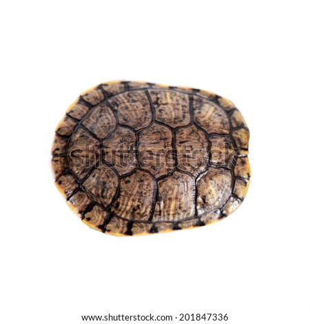 Freshwater red-eared turtle on white - stock photo