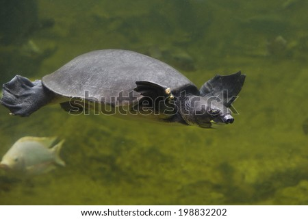 Freshwater turtles - stock photo