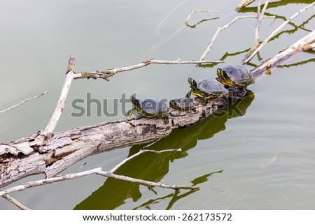 Freshwater turtles - stock photo