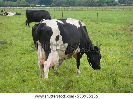 Fresian Cow in paddock showing udder