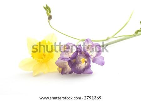 Fresias and daffodil - stock photo
