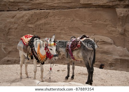 Friendly Bedouin donkeys