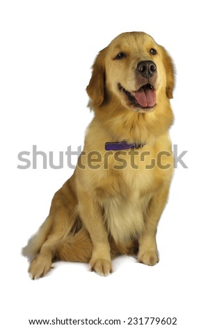 friendly golden retriever isolated in white background with clipping path - stock photo
