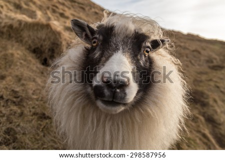 Friendly Icelandic sheep looking directly into the camera - stock photo