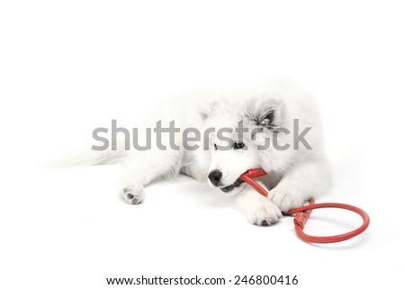 Friendly Samoyed dog with red leash isolated on white - stock photo
