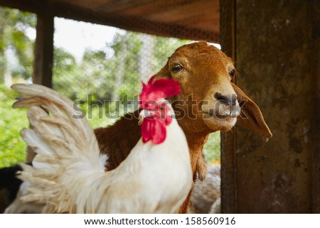 Friends - rooster and goat in the farm - stock photo