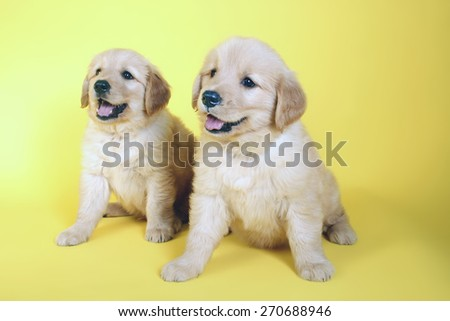 friendship golden/ smiling face / dreaming dog / puppy golden