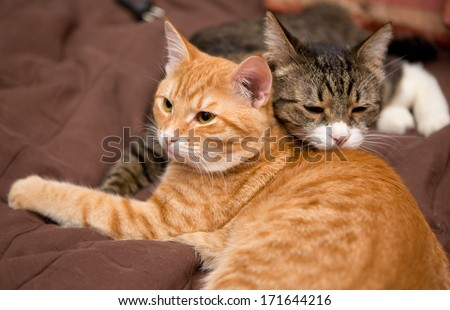 Friendship of the two striped cats, orange and grey