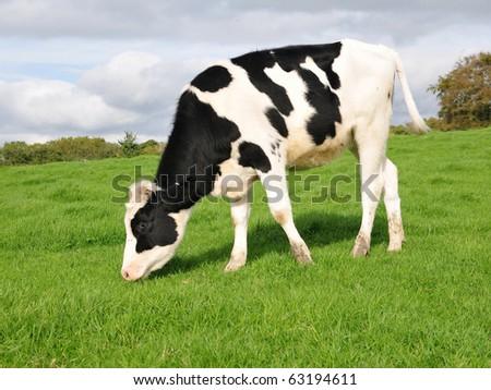 Friesian Calf Grazing in a Green Field - stock photo
