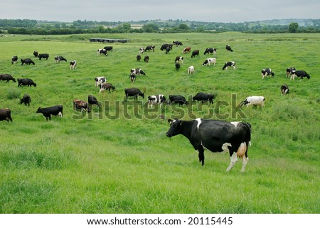 Friesian (Holstein) dairy cows grazing on lush green pasture - stock photo