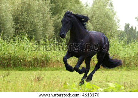 Friesian horse galloping in a bright green field