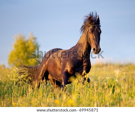 Friesian horse galloping in sunset - stock photo