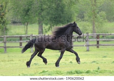 Friesian horse in the spring field - stock photo